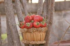 草莓,在小组的焦点在篮子的草莓在自然 免版税库存照片