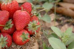 草莓,在小组的焦点在篮子的草莓在自然 库存图片