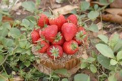 草莓,在小组的焦点草莓 库存照片
