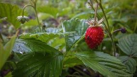 草莓,野生莓果 免版税库存图片