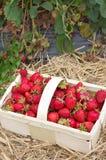 草莓-新鲜从领域- II 库存照片