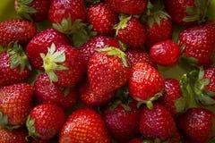 草莓 新鲜的有机莓果 库存照片