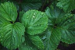 草莓绿色叶子与雨珠的 顶视图在庭院里 平的位置 背景蓝色云彩调遣草绿色本质天空空白小束 库存图片