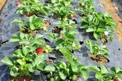年轻草莓 库存照片