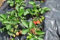 年轻草莓 免版税库存照片