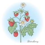 草莓collestion 2-04 库存照片