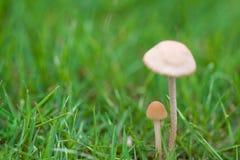草蘑菇 免版税库存图片