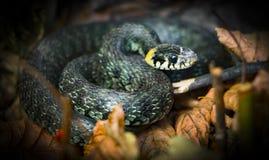 草蛇, natrix 一只有用的爬行动物,森林sanator,喂养主要虫 免版税库存照片