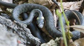 草蛇, natrix 一只有用的爬行动物,森林sanator,喂养主要虫 图库摄影
