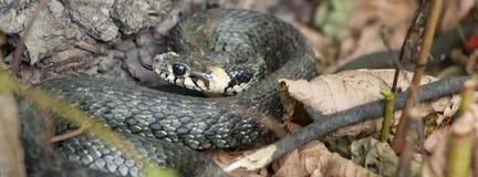 草蛇, natrix 一只有用的爬行动物,森林sanator,喂养主要虫 免版税库存图片