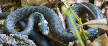 草蛇, natrix 一只有用的爬行动物,森林sanator,喂养主要虫 库存照片