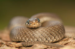 草蛇 图库摄影