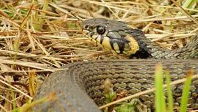 草蛇 免版税库存图片