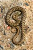 草蛇 免版税图库摄影