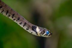 草蛇(Natrix natrix)准备流洒与蓝眼睛的皮肤 库存图片