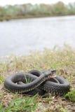 草蛇(Natrix natrix) 免版税库存照片