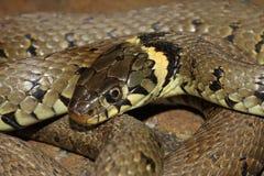 草蛇- Natrix natrix 免版税库存照片