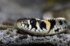 草蛇(Natrix natrix) 图库摄影