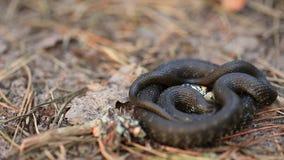 草蛇Natrix在移动卷的森林早期的春天森林蛇的Natrix加法器 影视素材