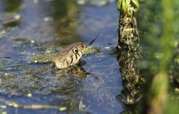 草蛇Natrix食物的natrix狩猎在有它的戳品尝的舌头的一个湖牺牲者的空气 免版税库存图片