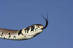 草蛇Natrix natrix狩猎的特写食物的与它的戳品尝的舌头它的牺牲者的空气 库存照片