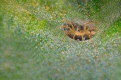 草蜘蛛与在它的网降露 免版税库存图片