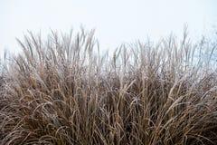 草覆盖秋天/的冬天在清早地面霜 免版税库存图片