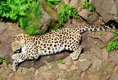 草豹子位于 免版税库存照片