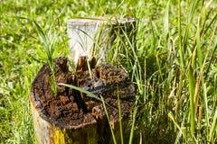 草通过树桩发芽了 免版税库存照片