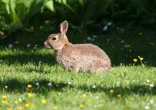 草通配草甸的兔子 免版税库存图片
