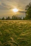 草针茅在根据落日的草甸在桦树树丛的背景 库存图片