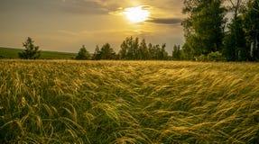 草针茅在根据落日的草甸在桦树树丛的背景 免版税库存照片