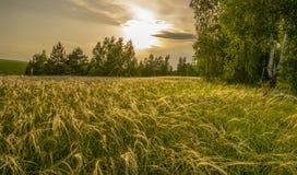 草针茅在根据落日的草甸在桦树树丛的背景 免版税图库摄影
