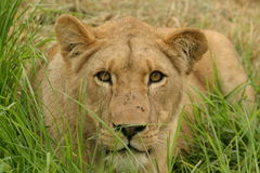 草雌狮 免版税图库摄影