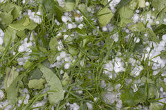 草雹子豌豆范围 免版税图库摄影
