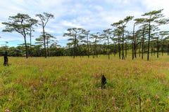 绿草领域和杉树与多云天空 免版税库存图片