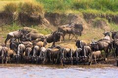草食动物牧群在玛拉河的岸的 肯尼亚,非洲 免版税库存图片