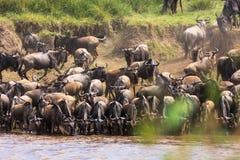 草食动物牧群在玛拉河的河岸的 肯尼亚,非洲 免版税库存照片
