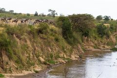 草食动物牧群在玛拉河的陡峭的河岸的 肯尼亚,非洲 免版税库存照片
