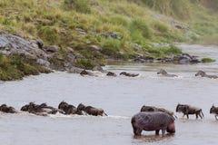 草食动物的迁移横跨玛拉河的在肯尼亚 马塞语玛拉,非洲 库存照片