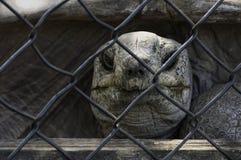 草龟关在监牢里 免版税库存照片