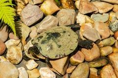 草龟在一个自然公园 免版税库存照片