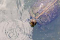 草龟在槟榔岛,马来西亚 免版税库存图片
