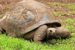 草龟在毛里求斯 免版税图库摄影