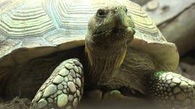 草龟或乌龟 影视素材