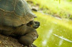 草龟是与包括仙人掌、草、叶子和果子的饮食的食草动物,摆在绿色前面 图库摄影