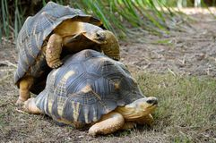 草龟联接 免版税库存照片