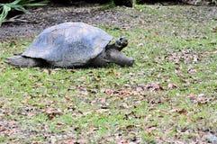 草龟走 免版税库存图片