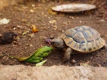 草龟,一,地下 免版税库存照片