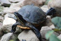 草龟(陆地龟) 免版税库存照片
